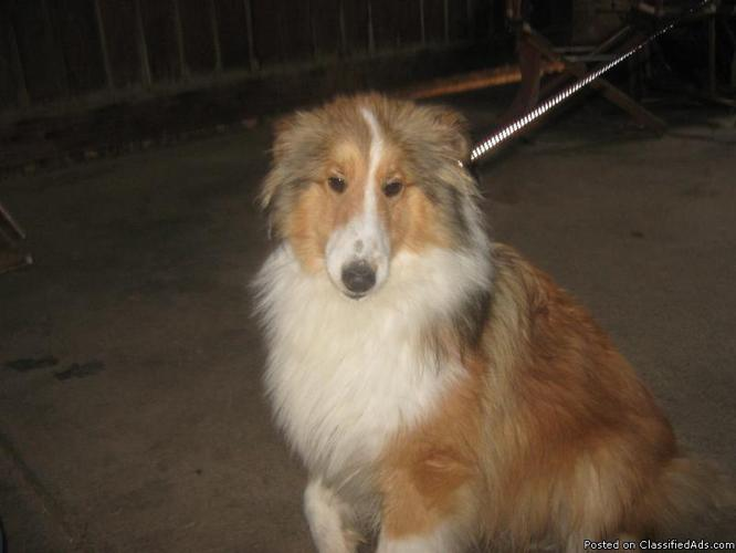 Beautiful Sable and White SHELTIE male, 11 months - Price: 300