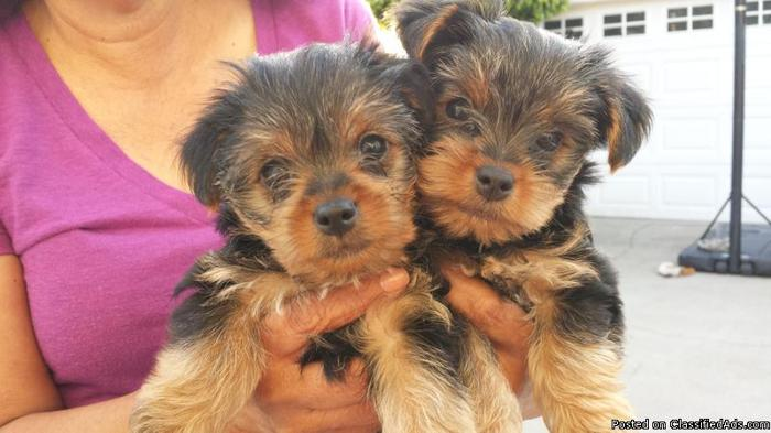 Beautiful Teacup Yorkie Puppies Text (937) 203- 0135 for