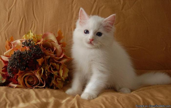 Beautiful White Ragdoll Kittens - Price: $600 00 for sale in Tarpon