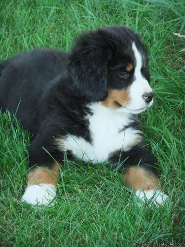 Bernese Mountain Dog Puppies Price 800 For Sale In Wayland Iowa Best Pets Online
