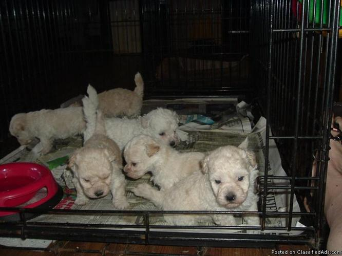Bichon Frise puppies For Sale - Price: $500 for sale in