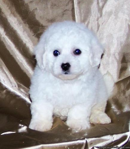 Bichon Frise Puppies - Price: 1000 for sale in Denham