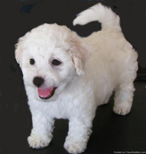 Bichon Frise Puppy - Price: 600 00 for sale in Punta Gorda