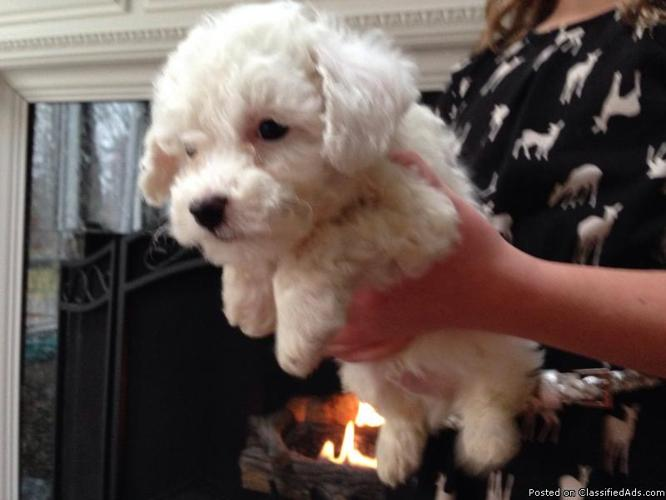 Bichon frise puppy for sale in Chesterfield, Michigan - Best