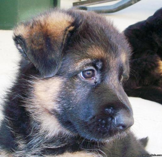 Black And Red German Shepherd Puppies -One Long Coat