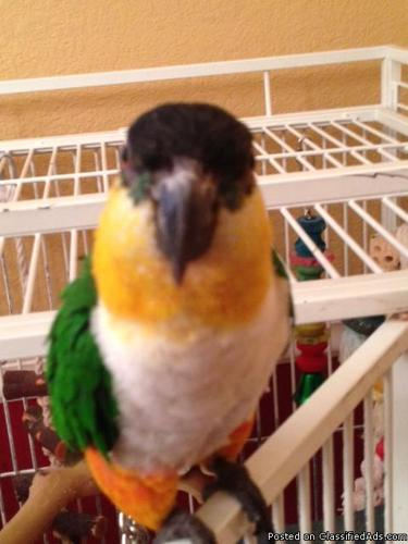 Black headed Caique with cage - reduced - Price: $500.00