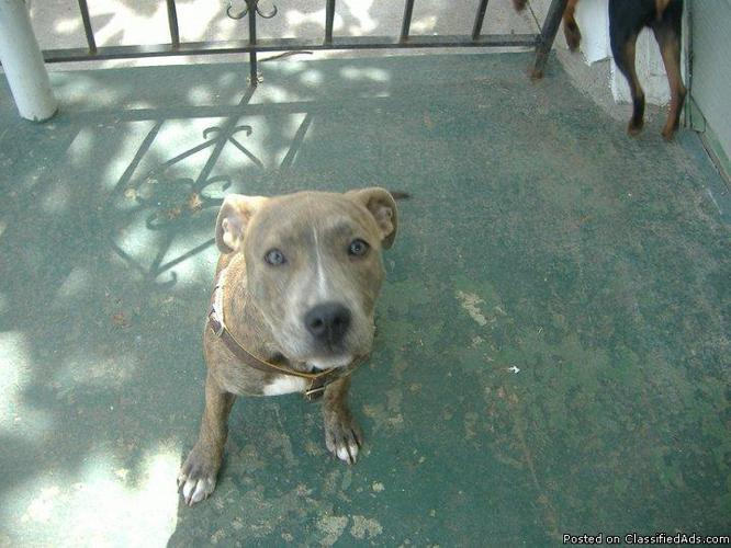 BLUE BRINDLE FEMALE PITBULL - Price: 200
