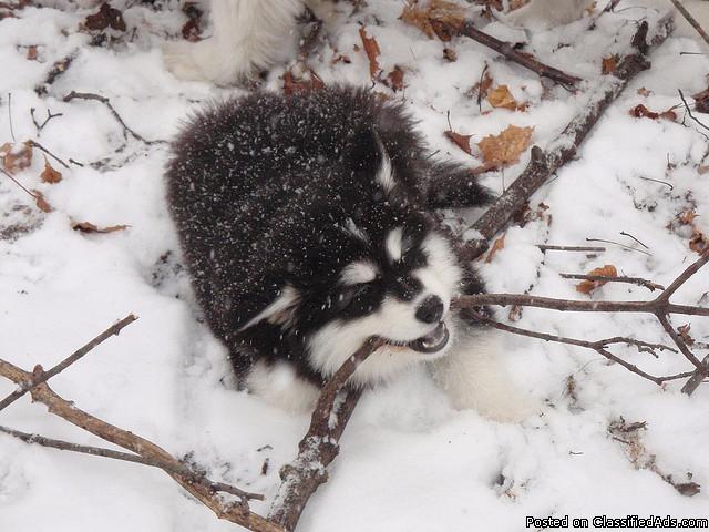 Blue Eyes Female Siberian Husky Available - Price: 0.00