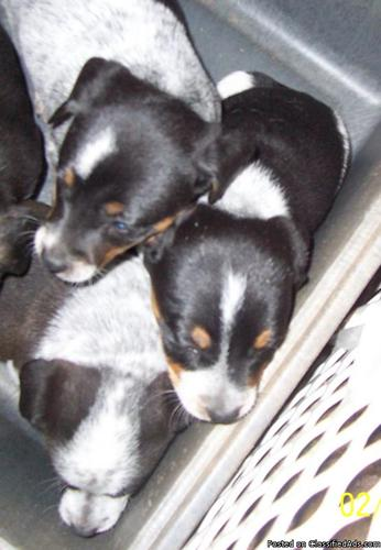 Beagle Blue Heeler Puppies for Sale