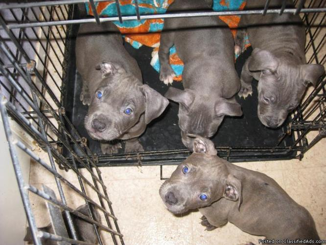 Blue nose bully pitbull puppies price 300 for sale in sacramento