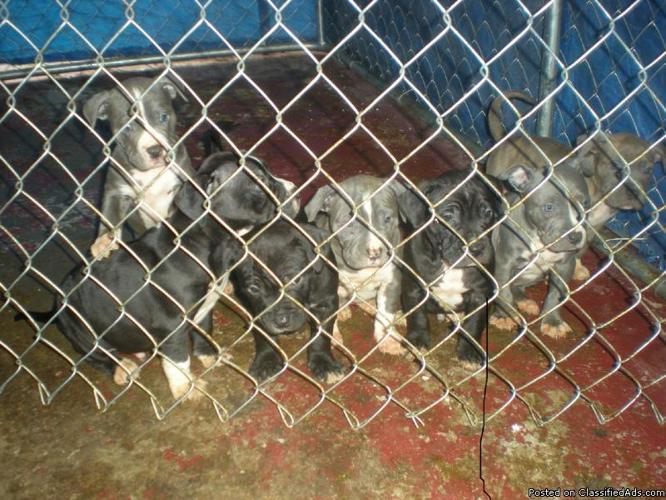 Blue nose puppies - Price: $225.00