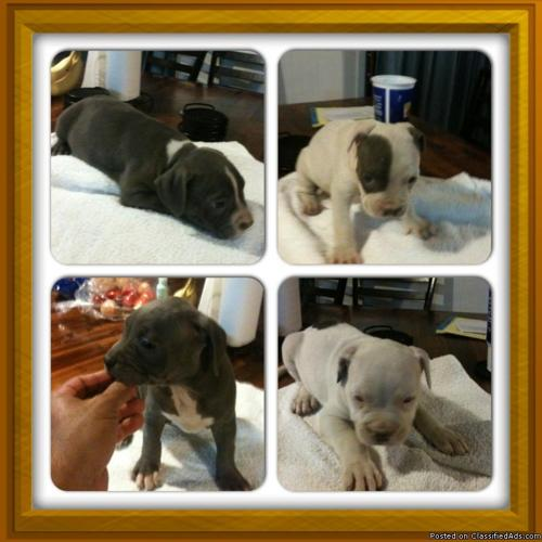 Blue/white pitbull puppies - Price: 300 /OBO