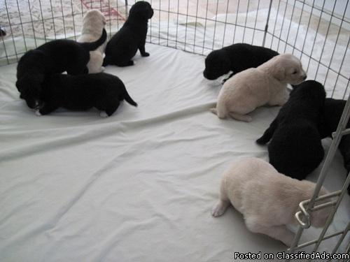 border collie/ golden retriever mixed pups - Price: $200 00 for sale