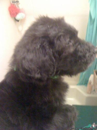 Bordoodle (Standard Poodle/Border Collie) puppies for sale - Price
