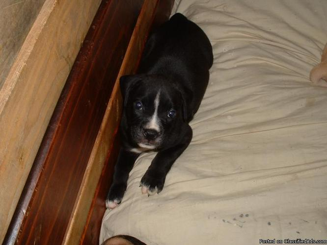 BOXADORE'S MALE AND FEMALE SECOND GENERATION PUP'S - Price: $100.00