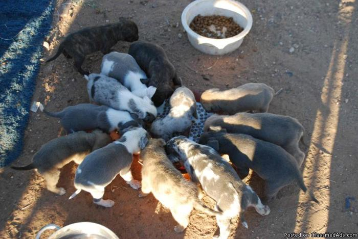Boxer Catahoula Mix Puppies - Price: 50 for sale in Wittmann