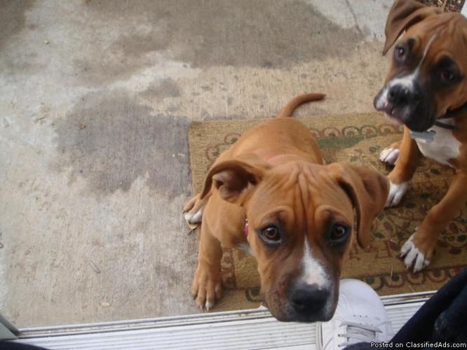 Boxer-Mix Puppies - Price: $200 each