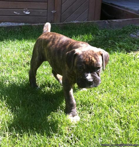 Boxer Puppies ~ Monster - Price: 550