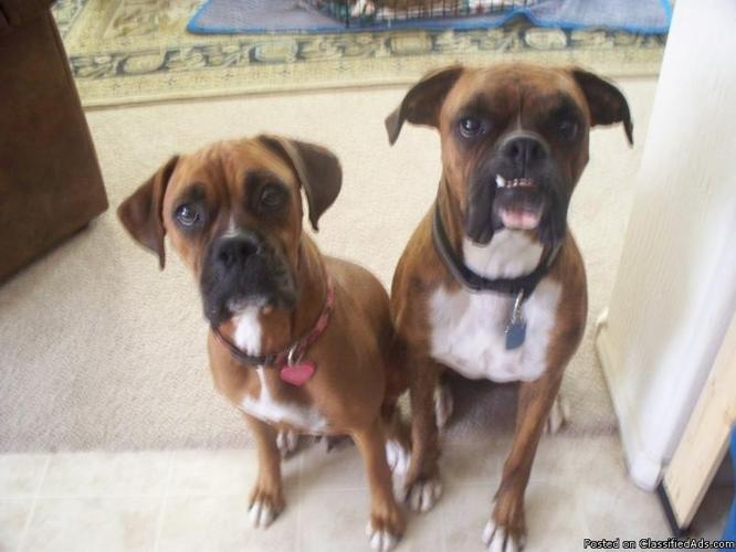 Boxer Puppies Price 250 300 For Sale In Surprise Arizona Best