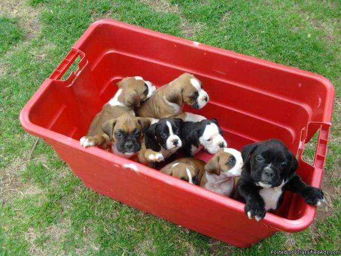 Boxer Puppies - Price: $550