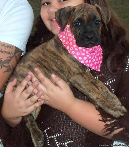Boxer puppies - Price: $650 00 for sale in Zephyrhills