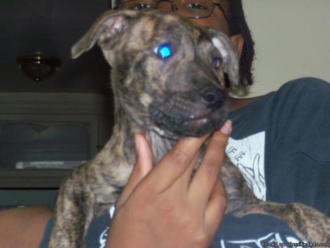 Brindle puppies 10 weeks old - Price: 100