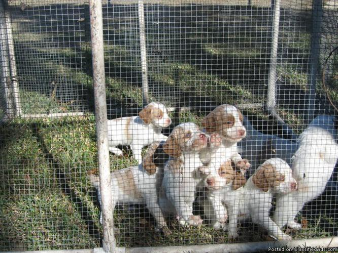 Brittany Spaniel Puppies, AKC, in San Antonio - Price: 450 00 for