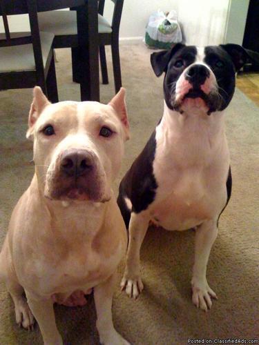 Bulldog mix to good home