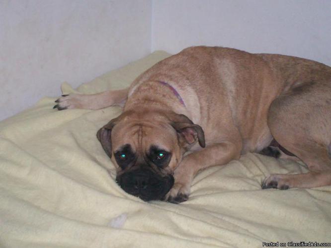 Bullmastiff Puppies - Price: $650