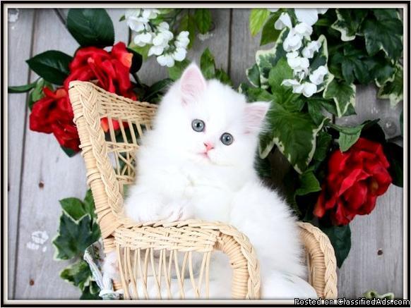 Cashmere White Persian Kittens! for sale in Unionville