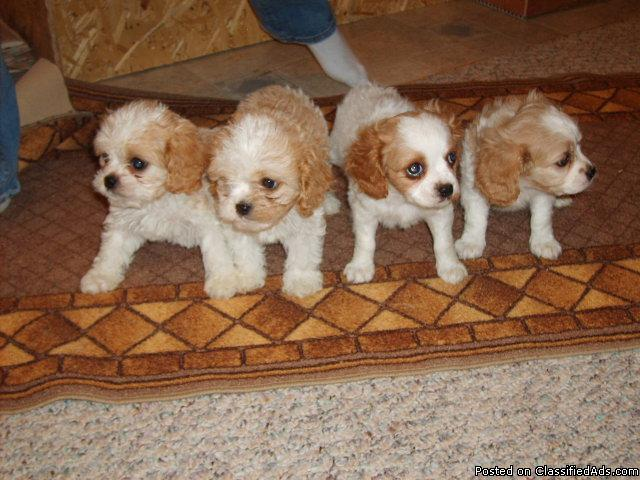 Cavachon Puppies 8 weeks old - Price: $400 00 for sale in