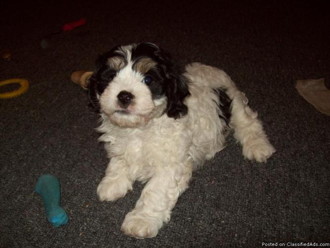 Cavachon puppies (Cavalier King Charles Spaniel/Bichon Frise
