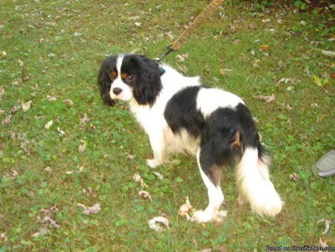Sex with king charles spaniel adult for sale