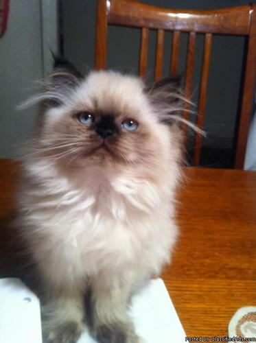 Kittens+Tulsa CFA Certified Persian-Himalayan Kittens For Sale In ...