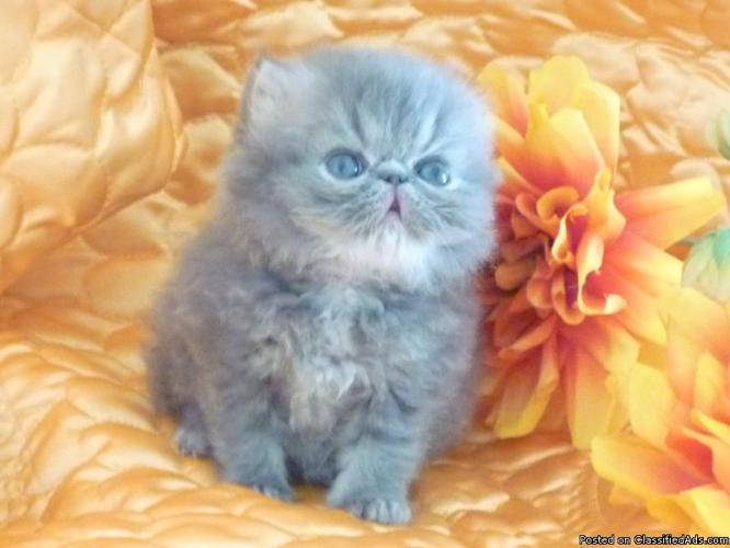 CFA Persian BiColor , Himalayan-Persian White with Blue eyed - Price: 400 +up