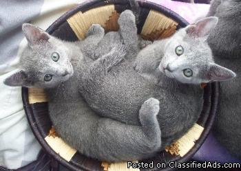 Blue Kittens For Sale : Cfa russian blue kittens for sale price for sale in salt