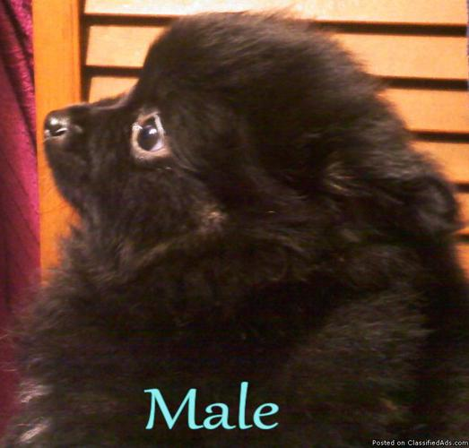 Cheap Akc Pom Pomeranian Puppies Price 20000 For Sale In