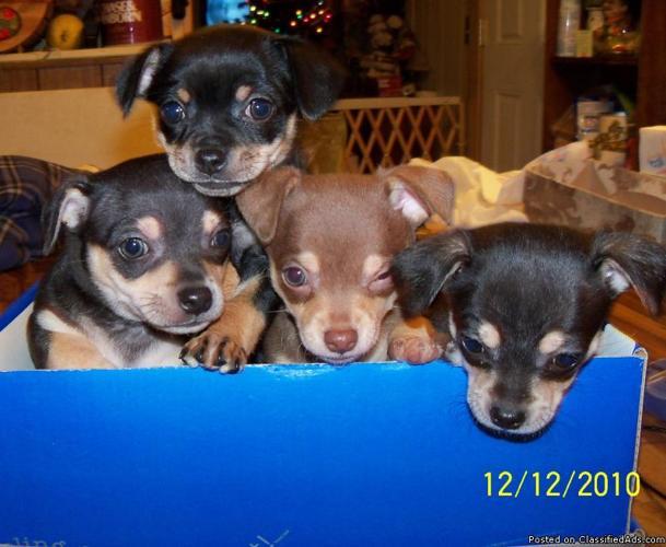 Chihauhau puppies purebred registered - Price: $450