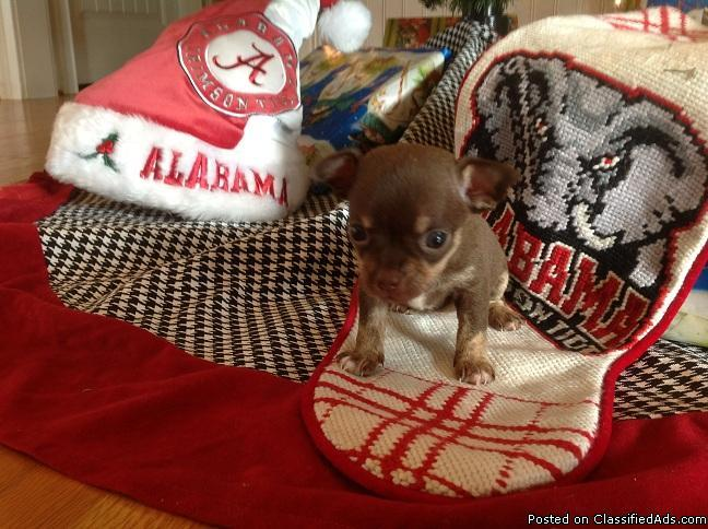 Chihuahua Chocolate and Tan Female with Merle genes - Price: 700.00