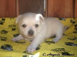 Chihuahua Female DOB 8.17.11 - Price: 450.00