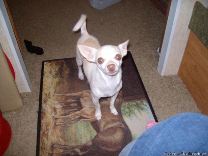 Chihuahua male,neutered,3 1/2 yr. - Price: free