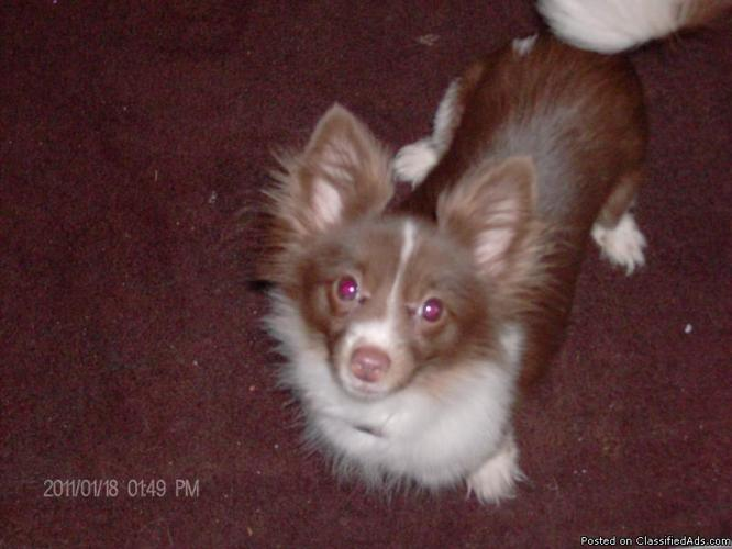 Chihuahua Pomeranian mix - Price: 300 for sale in Columbus, Arkansas