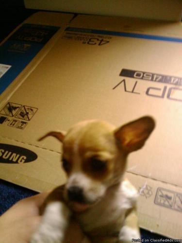 Chihuahua - Price: 250