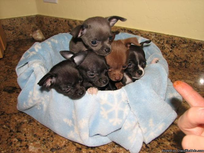 Chihuahua Puppies 11 Wks Old Price 25000 For Sale In Surprise
