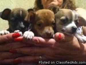 Chihuahua Puppies - Price: 125.00