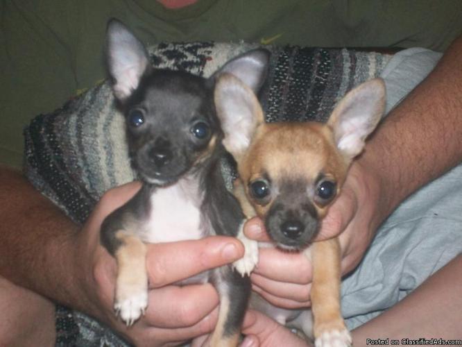 chihuahua puppies - Price: 400.00