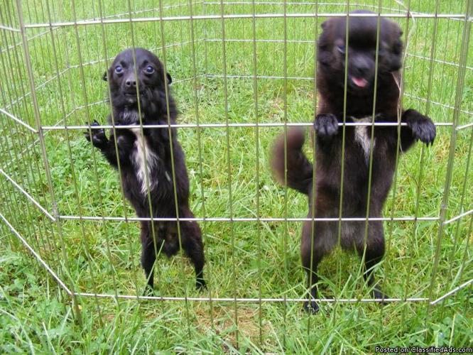 ChiPomKie Adult 4-5 Lb Male Proven Breeder - Price: $100.00 OBO