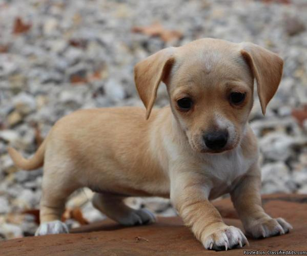 Chiweenie male and female puppies price 400 00 for sale in mounds