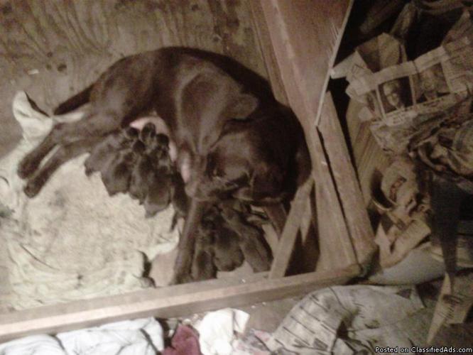 Chocolate Labrador Retrievers - Price: $800.00