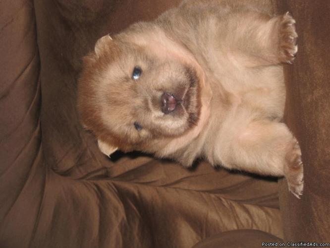 CHOW CHOW PUPPY PUPPIES LITTER CKC - Price: 600 00 for sale